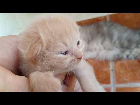 Newborn cute Kitten || भर्खर जन्मिएको सुन्दर बिरालोको बच्चा || Kitten Meowing