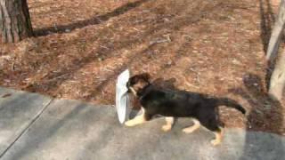 Video German Shepherd Puppy Fetching Newspaper download MP3, 3GP, MP4, WEBM, AVI, FLV Desember 2017