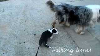 Welsh Corgi Cardigan Puppy  On Her 3rd Walk!