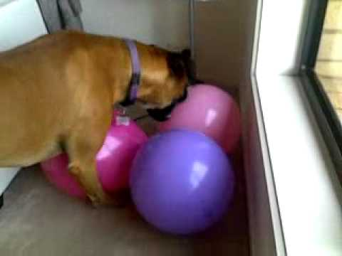 My dog eats and pops balloons