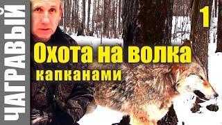 Охота на волка капканами 1 | СЕКРЕТЫ от реального волчатника