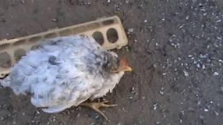 У  цыплят  начинается  эпидемия  ((