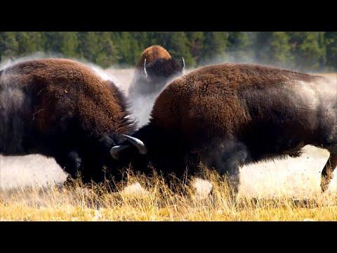 15+ Bisonte Americano Vs Bisonte Europeo Pictures