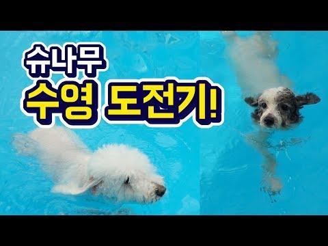 (슈앤트리) 슈나무의 강아지 수영 도전기! / dog swimming