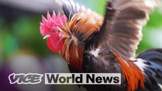 Feral Chickens Are Taking Over Florida