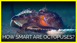 How Smart Are Octopuses, Actually?