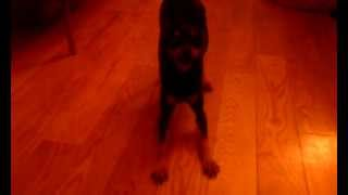 Cute Miniature Pinscher (min Pin) Wants To Go For Walk. So He Chirps And Dances.