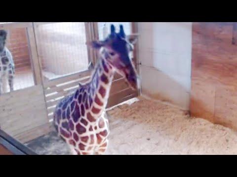 livestream-cameras-will-again-keep-tabs-on-pregnant-april-the-giraffe
