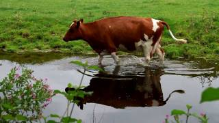 Cow in the water