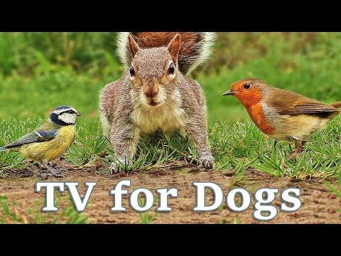 TV for Dogs : Videos for Dogs To Watch - Birds and Squirrels for Separation Anxiety