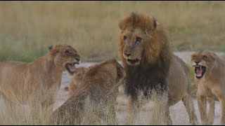 Lions - a Lesson in Dominance - Kruger Park South Africa - 14 March 2020