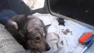 Подобрали замерзающих собаку и щенков в Бердске