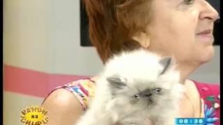 Про котів персидської породи