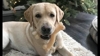 LIVE: Guide Dog in Training: Smudge Celebrates 1st Birthday With Friends & Cake | The Dodo LIVE