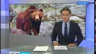 Местные жители в панике  Дикого медведя ещё не поймали в Иркутском районе