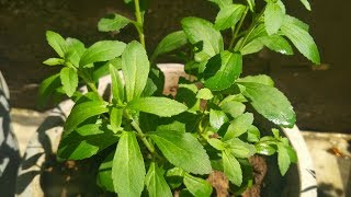 Stevia Plant (Hindi) - How To Grow and Care Stevia Plant at Home - Health Benefits of Stevia Plant