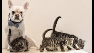 LIVE: French Bulldog Taking Care of Foster Kittens | The Dodo Meow for Now