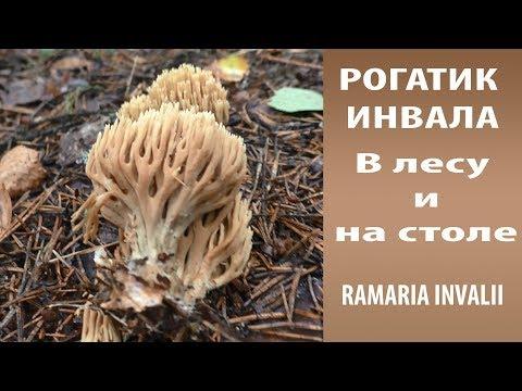 Рогатик Инвала . В лесу и на столе.