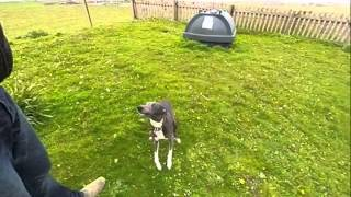 Stanley Whippet  Jumping Slow Motion