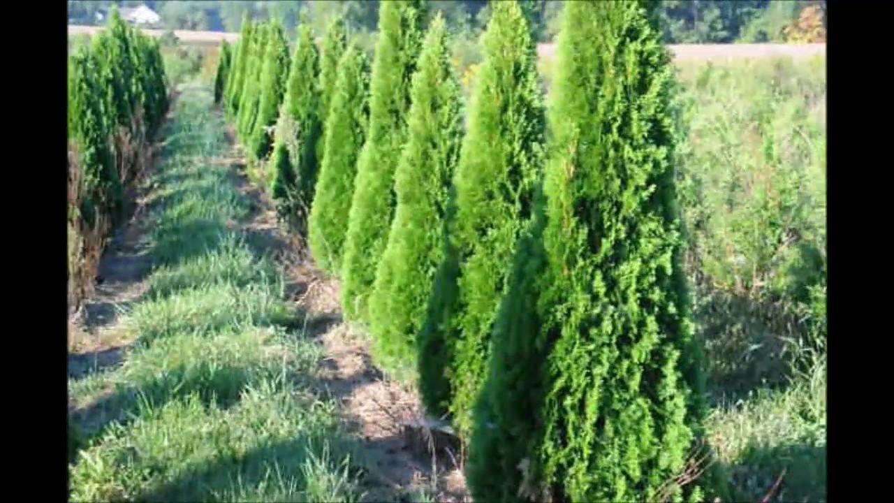 Arborvitae growth rates of elegantissima arborvitae and the emerald green