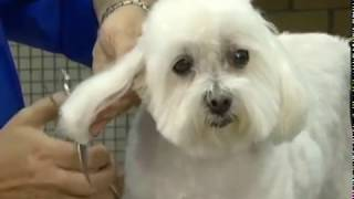 Creating a Round Head on a Pet Maltese with a Short Haircut