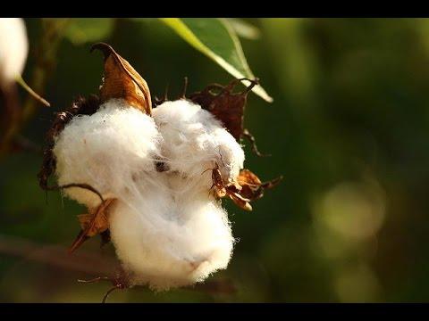 cómo-tratar-las-plagas-en-un-cultivo-de-algodón---tvagro-por-juan-gonzalo-angel