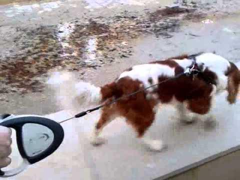 cavalier-king-charles-spaniel---walking-the-empty-fountain---[paca]