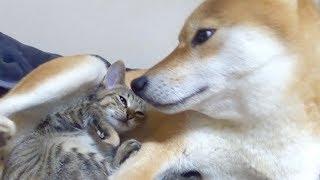 【柴犬と子猫】飼い主もビックリ!種を超えた親子愛誕生!--Parent-child love of dogs and kittens--