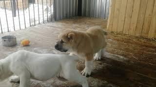 щенки САО 2 месяца, Тимерташ Шункар и Бишенели Дильмира(среднеазиатская овчарка)