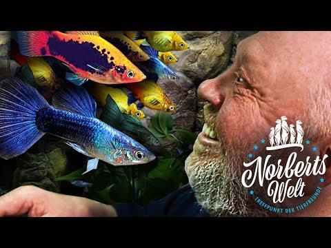 Der GUPPY | Vom MILLIONENFISCH zum Topmodel | NORBERTS WELT | Zoo Zajac