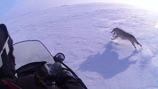 ОХОТА НА ВОЛКОВ 8 -2018 -Wolf hunting (Степные охотники 8)