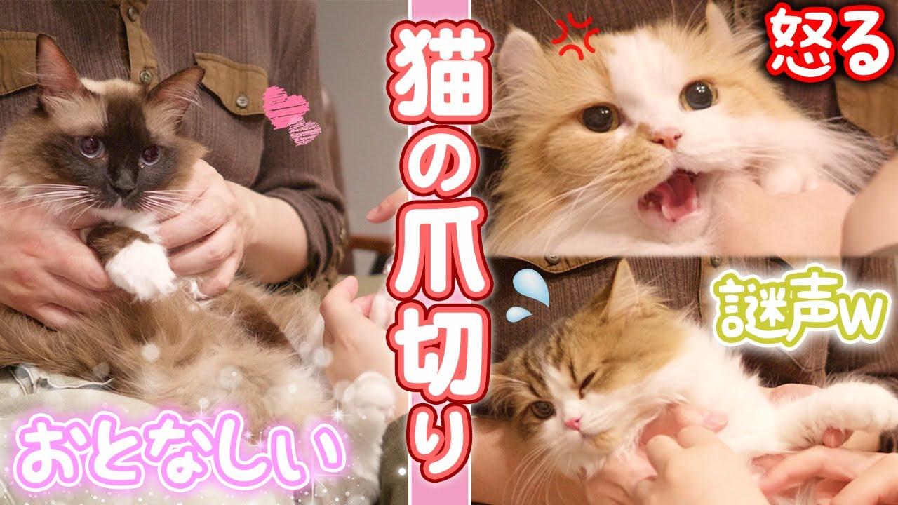 猫の爪切り!3匹の反応がそれぞれ違って面白かわいいw