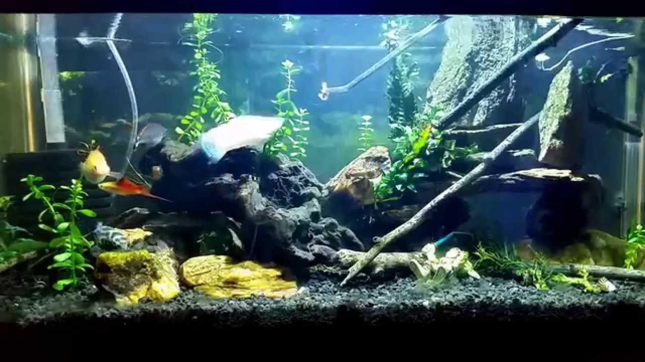 Butterbean my figure 8 puffer having his dinner of pond for Fish pond setup