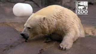Polar Bear Research with Anana -  Cincinnati Zoo