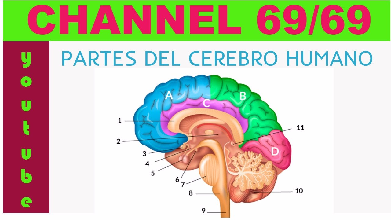 PARTES DEL CEREBRO HUMANO - YouTube