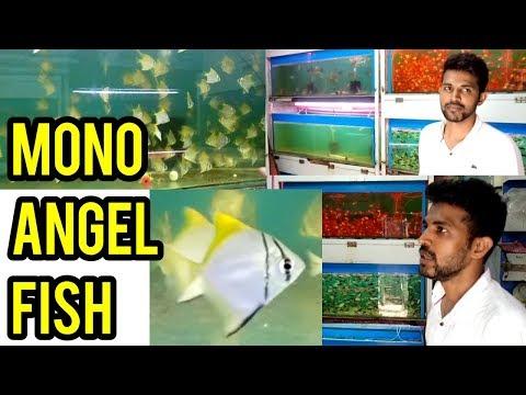 MonoAngel Fish Tabrez Kurla Fish Market