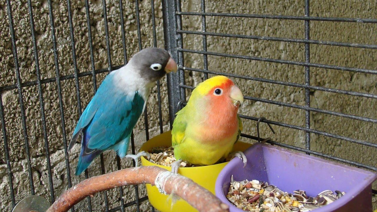 Lovebird Food Diet