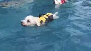 Great Pyrenees Golden Retriever Mix Sam & Poodle Astra Swim Together For The First Time