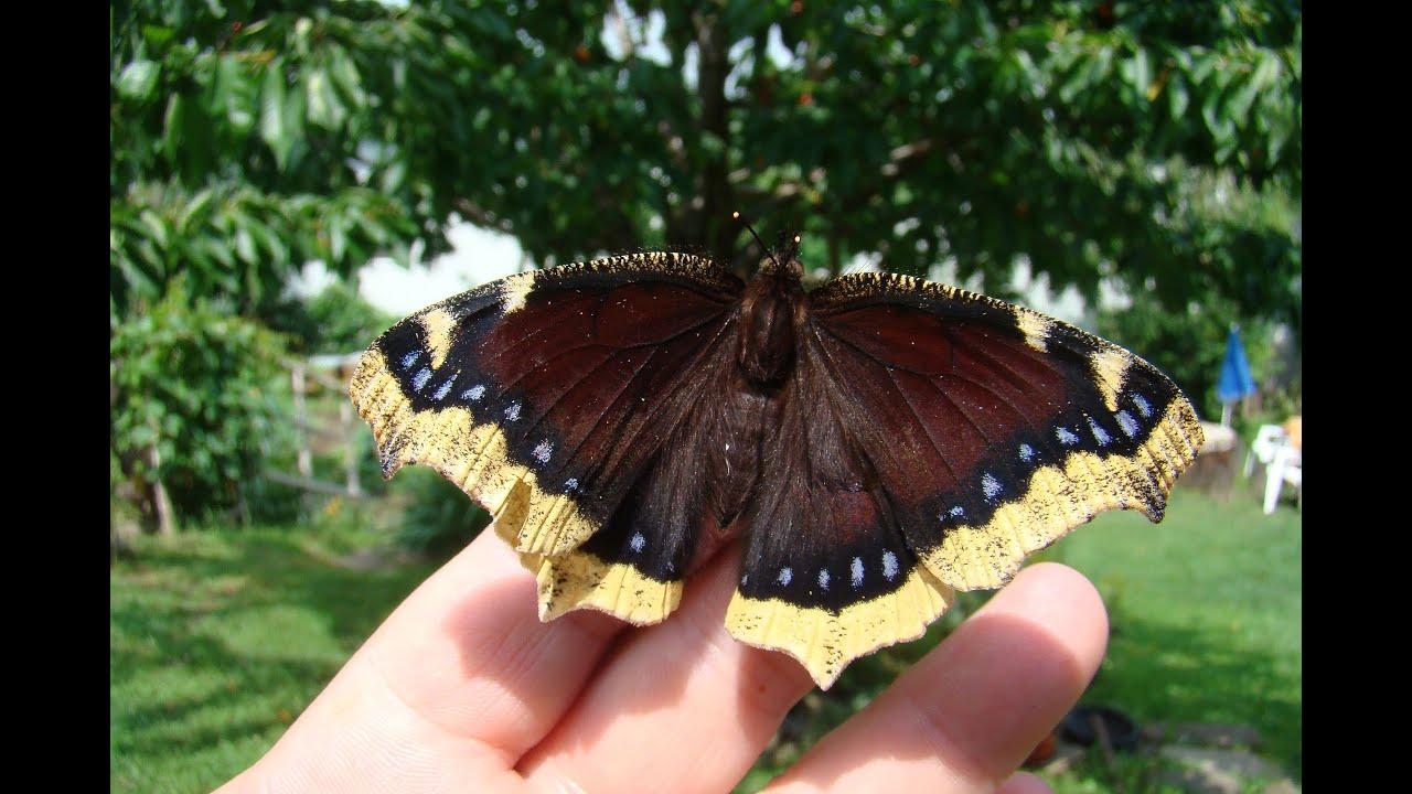 De ce unele Monarch fluturi Have șifonate aripi? - Fluturii sunt paraziți
