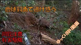 鹿は斜面を逃げ惑う 有害駆除 ゆっくり動画  くくり罠 狩猟