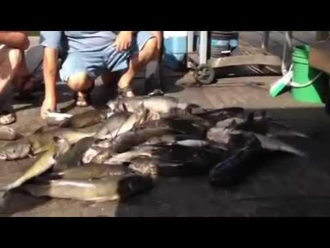 2012 July 8 Catfish Haul At Great Alma Fishing Float, Alma, Wisconsin