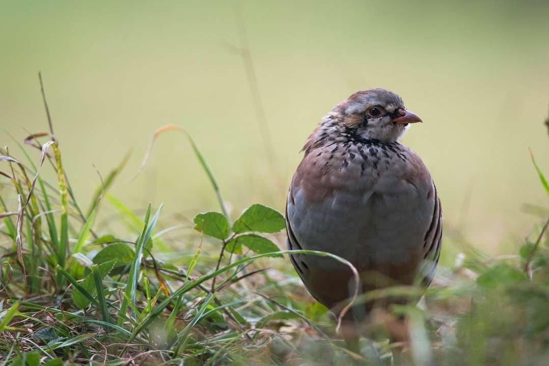 рябчик птица фото