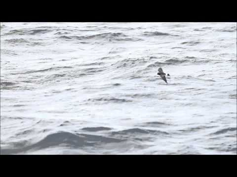 Wilson's Storm-Petrels--Offshore Freeport, New York