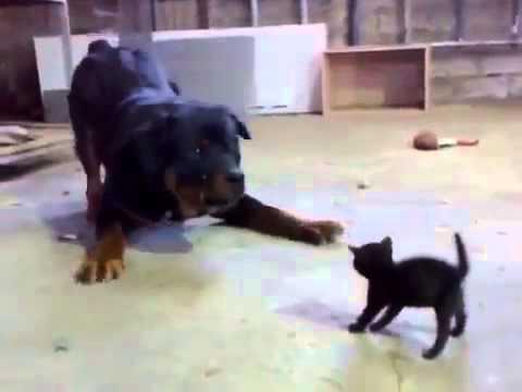 small brave cat against dog [cat vs dog]