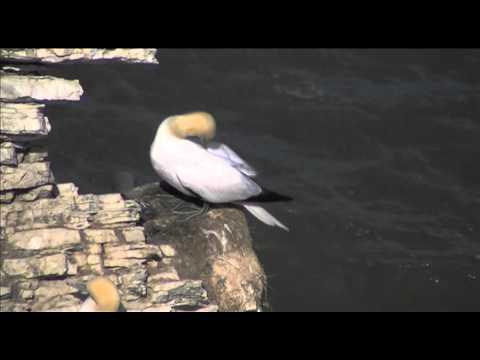 Wildlife Monthly: June - Gannet