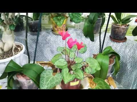 Опыление комнатных растений результаты. Когда созревает семенная коробочка цикламена.