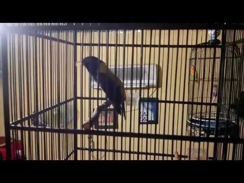 kepodang hutan ( black throated oriole )