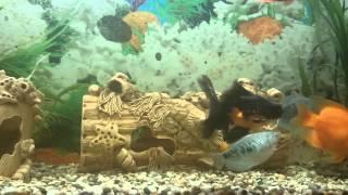 Золотая рыбка телескоп(Содержание и уход., 2014-11-07T04:33:29.000Z)