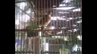 KIcau Anis Punglor Cendana Sumbawa