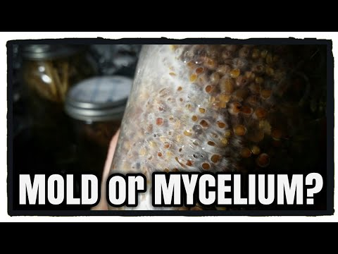 Mold or Mycelium? Growing Oyster Mushrooms - YouTube